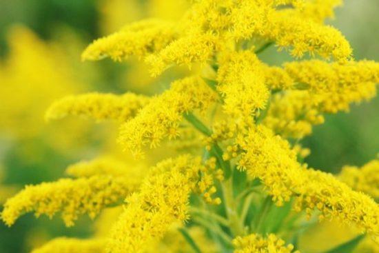 秋の花粉症の原因 ブタクサ